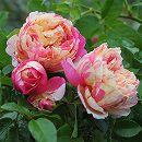 [17年5月中旬予約]デルバールローズ:エドゥアール・マネ新苗4号鉢植え