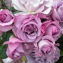 [17年5月中旬予約]デルバールローズ:ディオレサンス(ディオルサン)新苗4号鉢植え