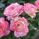 [17年5月中旬予約]デルバールローズ:マルク・シャガール新苗4号鉢植え