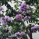 サルスベリ:薄紫花樹高1.5m 根巻き