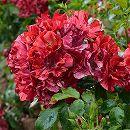 [17年5月中旬予約]デルバールローズ:ラ・レーヌ・ドゥ・ラ・ニュイ新苗4号鉢植え