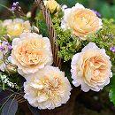 [17年5月中旬予約]デルバールローズ:アメリ・ノートン新苗4号鉢植え