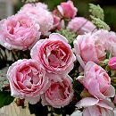 [17年5月中旬予約]デルバールローズ:ビエ・ドゥー新苗4号鉢植え