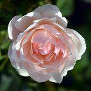[17年5月中旬予約]デルバールローズ:マダム・フィガロ新苗4号鉢植え