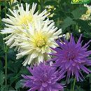 [17年3月中旬予約]ガーデンダリア クールカラー:カクタス咲き(白・紫)2球入り