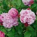 [17年5月中旬予約]デルバールローズ:サント・ノーレ新苗4号鉢植え
