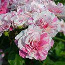[17年5月中旬予約]ドリュ:ランタン バランゴ新苗4号鉢植え