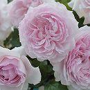 [17年5月中旬予約]ロサ・オリエンティス:エウリディーチェ新苗4号鉢植え