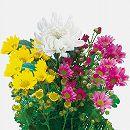 お盆用お供え菊ミックス植えタイプ3(白大輪入り)4号ロングポット