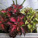 [17年5月中旬予約]栄養系コリウス:葉っぱのコリン スモーキーローズとカサノヴァ7.5cmポット2種セット