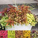 [17年5月中旬予約]栄養系コリウス:葉っぱのコリン 7.5cmポット5種セット