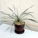 ユッカ:ロストラータ陶器鉢植え(ウッディラウンドブラウン・受け皿付)