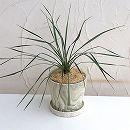 ユッカ:ロストラータ陶器鉢植え(ウッディラウンドホワイト・受け皿付)