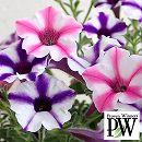 [17年5月中旬予約]ペチュニア2色植え:スーパーチュニア ビスタミニ(ピンクスター&ブルースター)4号ポット