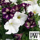 [17年5月中旬予約]ペチュニア2色植え:スーパーチュニア(グレープスター&ビスタスノー)4号ポット