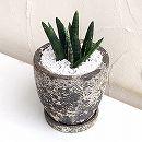 サンスベリア:シリンドリカ オバケ陶器鉢植え(直径20cm・受け皿付)