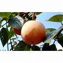 鉢植え果樹 柿(カキ):太月(たいげつ)8号鉢植え