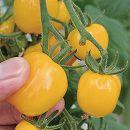 [17年4月中旬予約]トマト:甘〜くとろけるトマトつやぷるんゴールド3号ポット