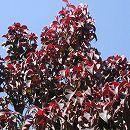 常緑ヤマボウシ:ウインターレッドペイジ根巻き 樹高1.2〜1.4m