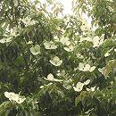 常緑ヤマボウシ:サマースカイツリー根巻き樹高1.2〜1.5m