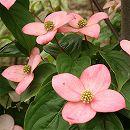 ヤマボウシ:ブルーミングピンクテトラ根巻き樹高1〜1.3m