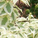 ヤマボウシ:スノーアラウンドペイジ根巻き樹高1.5〜1.7m