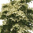 常緑ヤマボウシ:イエローペイジ根巻き樹高1.2〜1.5m