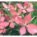 常緑ヤマボウシ:レッドムーン根巻き樹高80〜100cm