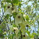ハンカチノキ(ダビディア)根巻き樹高1.1〜1.3m