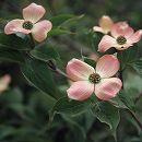 ハイブリッドハナミズキ:ステラピンク根巻き樹高1.3〜1.5m