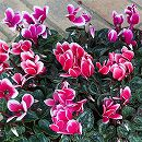 ガーデンシクラメン:メティスファンタジア花色ミックス3号ポット 2株セット