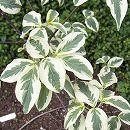 ハイブリッドハナミズキ:ステラピンク斑入り(白花)根巻き樹高1〜1.5m