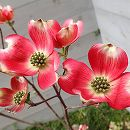 ハナミズキ:ピンク(大輪)根巻き樹高1〜1.5m