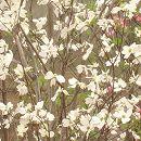 ハナミズキ:ファスティホワイト根巻き樹高0.9〜1.1m