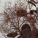 スモークツリー:ベルベットクローク樹高0.8m根巻きまたはポット