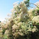 スモークツリー:ホワイトボール樹高1m根巻きまたはポット