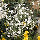 宿根かすみ草:高性白花3号ポット 2株セット