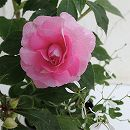 [17年4月中旬予約]スパークリングフィエスタ:グランデピンクとグリッツ2種植え3.5号ポット