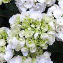 [17年2月中旬予約]アジサイ:ダーマブランカ(白)3.5号ポット
