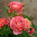 [17年5月中旬予約]四季咲中輪バラ:イーハトーブの香 新苗