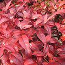 マット植物:オタフクナンテンのマット25cm×25cm 8枚セット