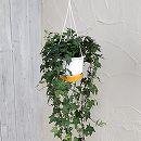 ヘデラ(アイビー):ピッツバーグ5号ロング吊鉢仕立て