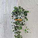 ヘデラ(アイビー):エスター5号ロング吊鉢仕立て