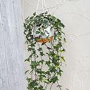 ヘデラ(アイビー):ゴールデンチャイルド5号ロング吊鉢仕立て