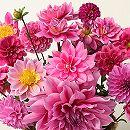 [17年3月中旬予約]切り花アレンジダリア:ピンクバージョン混合3球入り