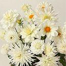 [17年3月中旬予約]切り花アレンジダリア:ホワイトバージョン混合3球入り