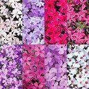 芝桜(シバザクラ):花色ミックス3号ポット 8株セット