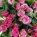 バラ咲きプリムラジュリアン:マーブル 花色アソート3号ポット 2株セット