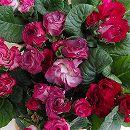 バラ咲きプリムラジュリアン:マシェルブラウン 花色アソート3号ポット 2株セット