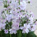 メロンの香りのプリムラ・マラコイデス メローシャワー ドリーム3.5号ポット(ライトピンク)